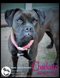Adopt Charlotte, a lovely 4 years 4 months Dog available for adoption at Petango.com. Charlotte is a Boxer / Terrier and is available at the Pasco County Animal Services in LAND O LAKES, FL