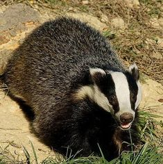 Tweet Your Voice, Save a Badger  #Badgers Visit our page here: http://what-do-animals-eat.com/badgers/