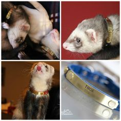 Peppi and Rolly love their new collars!! What adorably cute ferrets!!!