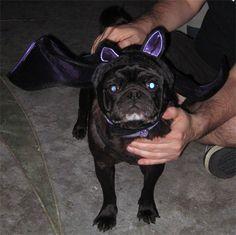 Max the Gargoyle, aka Bat Pug