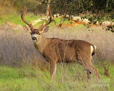 8-point Black-tailed Deer Buck Broadside Photograph
