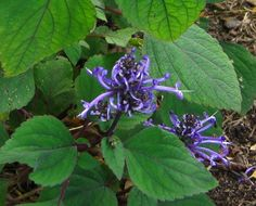 Plectranthus ambiguus - low-groing ground cover plant.