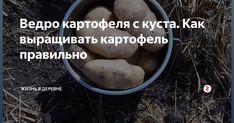 Близится время посадки картофеля, и конечно же стоит позаботиться о будущем богатом урожае прямо сейчас. Ведро картофеля с одного куста это реально, и для того чтобы картофель был крупный, его было много и на нём не было дефектов, первое что необходимо, это правильно подготовить посадочный материал. Проращивание картофеля Картофель для посадки следует выбирать не ниже второй репродукции, в идеале