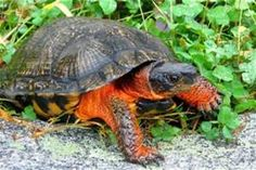 Maine Wood Turtle - Bing images