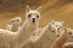 Alpacas at Mallkini's Ranch