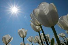 Fehér tulipánok Ruud van der Lubben napján