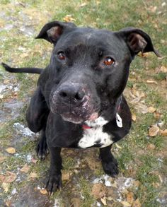 ADOPTED - Ally - URGENT - Stark County Dog Warden in Canyon, Ohio - ADOPT OR FOSTER - Adult Female Pit Bull Terrier - Available December 7, 2016 - Ally has now been at the shelter for almost 3 weeks, and like so many of the dogs, hasn't had many visitors. Ally is a black beauty, a strong girl, but friendly, and listens pretty well for us. She loves to spend time in the volunteer room, she finds a toy, and a soft bed, and she is content!