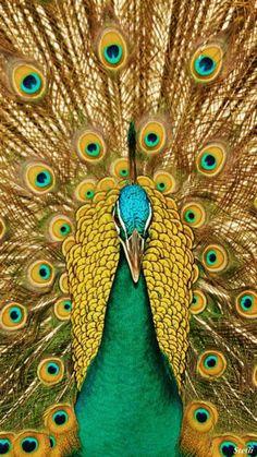 Peacock Animation