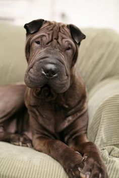 Chocolate Shar Pei - looks just like someone's bein a cutie