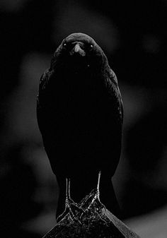 "classicexpression: "" The all-seeing crow casting its gaze to the deepest darkness of your soul. """