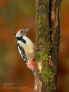 Middle Spotted Woodpecker by jenzzel68 #animals #animal #pet #pets #animales #animallovers #photooftheday #amazing #picoftheday