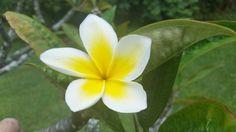 He Pua Malia Nani. A beautiful Plumeria flower.