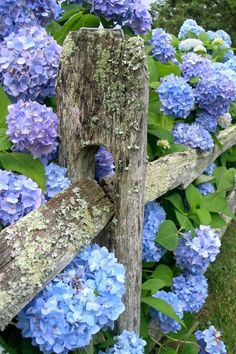 Blue hydrangeas along an old wooden fence covered with lichen.