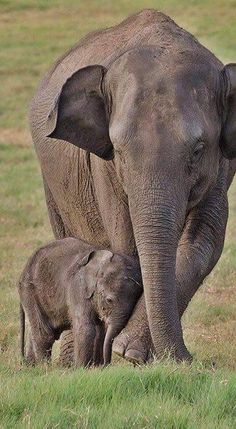 Out and about with baby elephant Mit Baby Elefant unterwegs Out and about with baby elephant , Baby, elephant Asian Elephant, Elephant Love, Mama Elephant, Mother And Baby Elephant, Baby Hippo, Elephant Family, Nature Animals, Animals And Pets, Wild Animals
