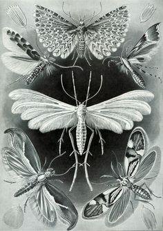 Tineida (Moths) by Ernst Haeckel. Plate 58, Kunstformen der Natur, 1904. Top middle: Twenty-plume moth; Centre: White plume moth; Lower left: Diamondback moth