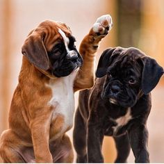 boxer dogs 12 Problems Only Boxer Dog Owners Will Understand The Paws Baby Boxer Puppies, Boxer Dogs Facts, Boxer Dog Breed, Cute Puppies, Dogs And Puppies, Funny Boxer Dogs, Golden Retriever Funny, Shih Tzu, Dog Anatomy