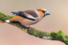 Hawfinch'12a.JPG (720×480) a neighbour of mine had some in their garden this summer. I was most envious!