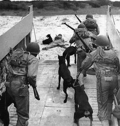 American marine war dogs - 1943, only Doberman no other breeds.