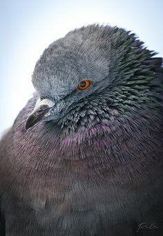 Domestic Pigeon / Házigalamb (Columba livia f. domestica) by Csaba Tokolyi (I've never seen a pigeon so beautiful)