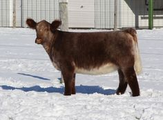 Shorthorn plus heifer Happy Animals, Animals And Pets, Heifer Cow, Show Steers, Show Cows, Show Cattle, Beef Cattle, Cute Creatures, Livestock