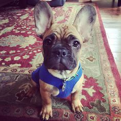 French Bulldog Nacho