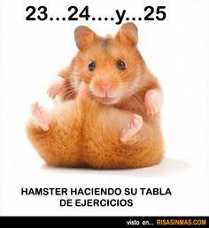 Hamster haciendo abdominales.