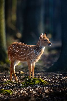 Bambi by Naturfotografie - Stefan Betz on Flickr.