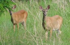 Deer along the Trails: I like to walk the trails along the Grand River in Brantford, and I saw these deer in an open area beside the trail.  Thank you so much for the picture