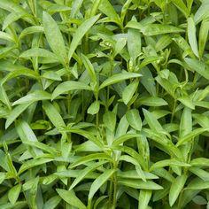 100+ French Tarragon seeds (Artemisia dracunculus), Estragon Seeds, Organic Herb #FrenchTarragonseeds
