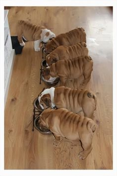 There's always one in the crowd! #dogs #pets #EnglishBulldogs facebook.com/sodoggonefunny