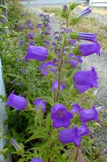 Campanula medium 'Champion Blue' - Canterbury Bells - hummingbird