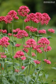 Centranthus Ruber. Red Valerian, Jupiters Beard, Keys of Heaven. Grows 2 to 3 feet tall and 18 inches wide. Branching, pointed clusters of 1/2 inch flowers in shades of pink, red, or white. Zones 5-8.