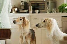 Saluki's - beautiful dogs!