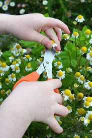 Grow chamomile flowers for tea.  Harvest & dry just the flower heads......Annual- grown from seed