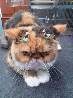 And this little kitty who loves her bows! | 21 Animals Who Are Totally Nailing This Whole Christmas Thing