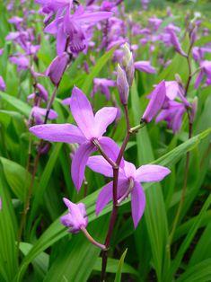 Orquídeas: Bletilla Striata