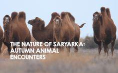 Autumn Animals, My Animal, Conservation, Camel, Wildlife, Pets, Videos, Nature, Naturaleza