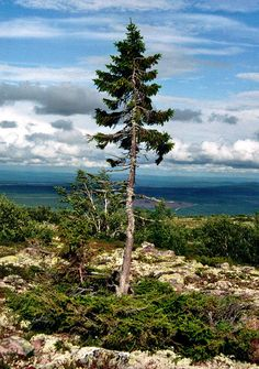 """Old Tjikko"", a 9,550 year old Norway Spruce, is the oldest known living tree in the world and is located on Fulufjället Mountain in Dalarna County, Sweden. The tree was discovered by Professor Leif Kuhlman and named ""Old Tjikko"" after his dog."