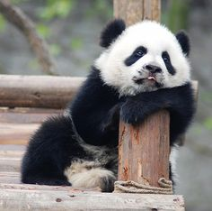 Baby Panda Bear, just chillin' Panda Face, Niedlicher Panda, Panda Funny, Bored Panda, Baby Animals Pictures, Cute Animal Pictures, Cute Baby Animals, Baby Pandas, Giant Pandas