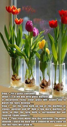 How to grow tulip bulbs indoors