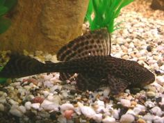 Pleco (Hypostomus plecostomus), or sucker fish.  Ours looks like this one.  His name is...wait for it...Felix.