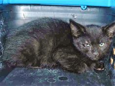 PISTACHIO - A1117324 - - Staten Island  *** TO BE DESTROYED 07/08/17 ***These adorable kittens are opening up to people and want attention now. They both came in with URI and looking much better!  PISTACHIO AND ALMOND ARE 2 MONTH OLD SIBLINGS WITH A COLD WHO NEED HOMES! -  Click for info & Current Status: http://nyccats.urgentpodr.org/pistachio-a1117324/
