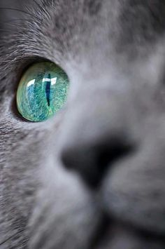 KORAT |  The Korat's eyes are large and peridot green in an adult cat