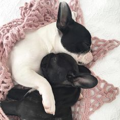 Sister Snuggles French Bulldogs