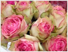 pink and green roses