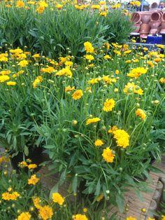 Perennial flowers 8