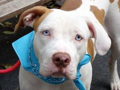 ((URGENT DOG ON DEATH ROW)) Manhattan CTR-  SNOOPY - A0982892  MALE, WHITE / BROWN, PIT BULL MIX, 2 yrs, 2 mo. REASON-OWNER ARRESTED  A volunteer writes;  Snoopy is like a precious gem, he really looks & acts like a puppy, all wiggly, smelling the air,tail wagging slowly & gently above his back.He comes right away as I call him & is all over me, kissing & hugging... Pure lap dog!!  For more info: email adoption@nycacc.org but ONLY if Contact the NYC ACC at (212) 788-4000 PLEASE HELP SAVE…