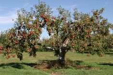 How do you choose between apple, pear, plum, or cherry trees? Today, Nixa Lawn Service looks at the best fruit trees for Missouri. Pruning Fruit Trees, Trees To Plant, Apple Tree Pruning, Tree Planting, Fall Fruits, Best Fruits, Grapevine Growing, Tree Care, Tree Illustration