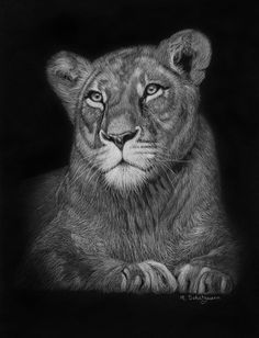 Lioness - White Pencil On Black paper - by Melissa Schatzmann