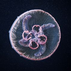 jellyfish photograph by Alexander Semenov